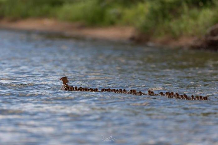 Fotografo cattura mamma anatra con un'incredibile nidiata di 76 anattroccoli