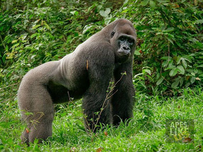 Gorilla e Galagidae Amici Ape Action Africa