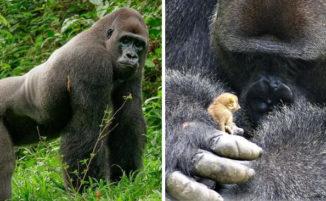 Gorilla incontra una creatura minuscola nella foresta, e la sua reazione è tenerissima