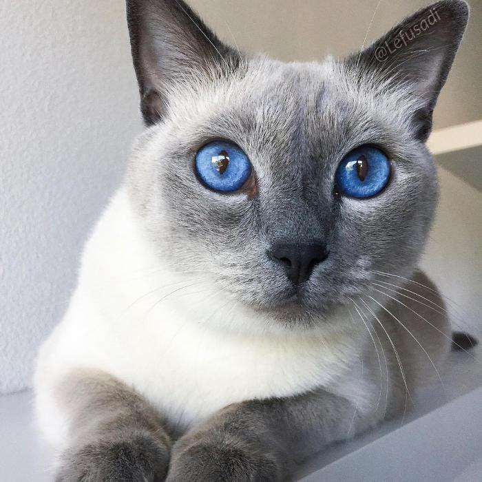 Gatti anallergici - Gatto Siamese