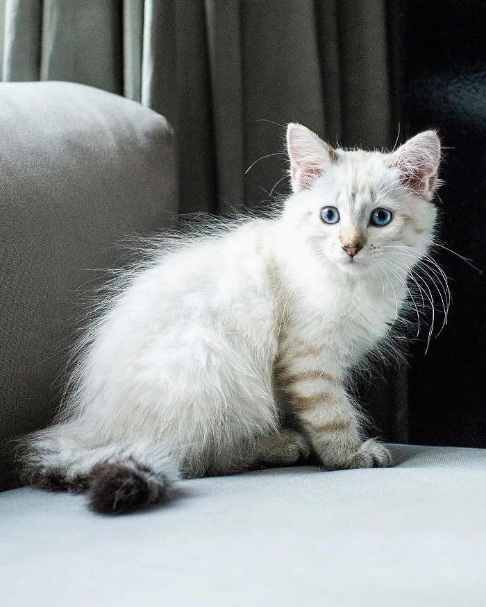 Gatti anallergici - Gatto Sacro di Birmania