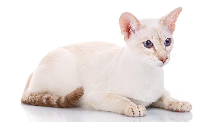 Gatti anallergici - Gatto Colorpoint Shorthair