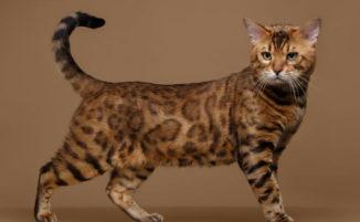 Gatti anallergici, ecco l'elenco delle 14 razze di gatti che non provocano allergie