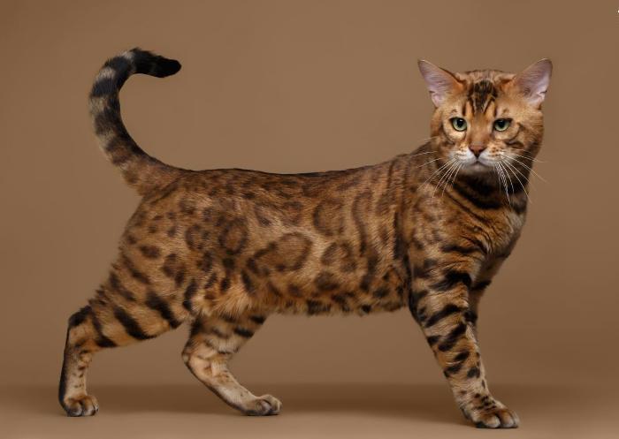 Gatti anallergici - Gatto Bengala