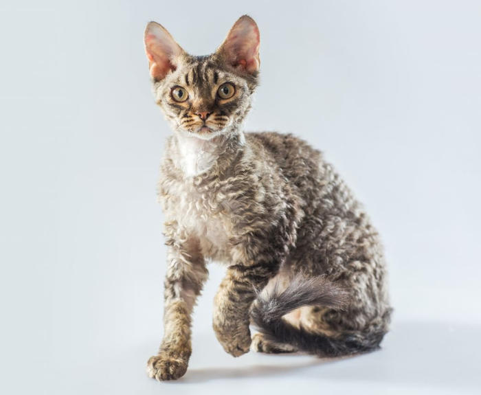 Gatti anallergici - Gatto Devon Rex
