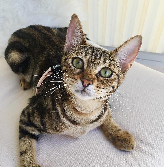 Gatti anallergici - Gatto Ocicat