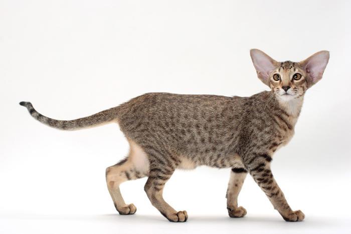 Gatti anallergici - Oriental Shorthair o Gatto Orientale