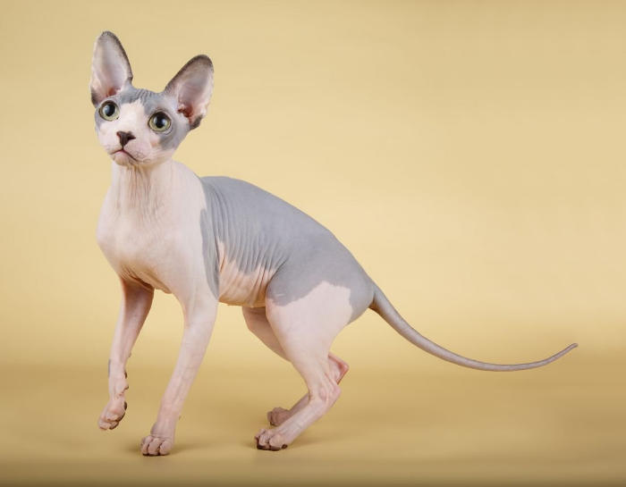 Gatti anallergici - Gatto Sphynx
