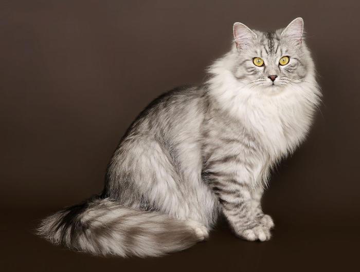 Gatti anallergici - Gatto Siberiano