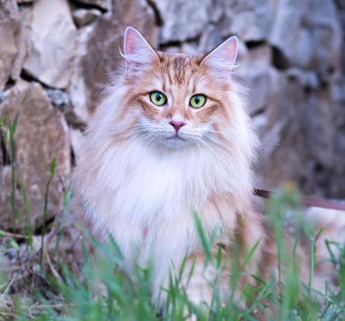 Gatti anallergici - Gatto delle Foreste Norvegesi