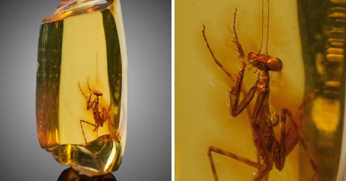 Mantide religiosa di 30 milioni di anni perfettamente conservata in un pezzo di ambra