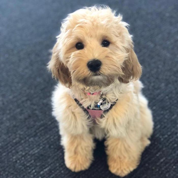 cani piccola taglia le 36 razze di cani piccoli perfette