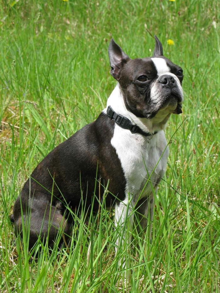 Cani piccola taglia le 36 razze di cani piccoli perfette for Nomi per cani taglia piccola