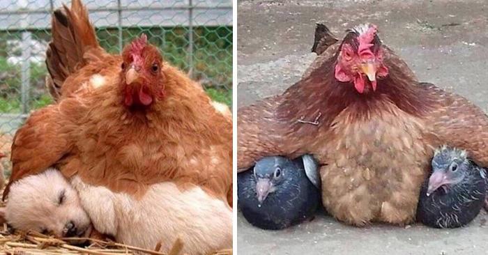 15 divertenti galline che volevano essere madri ad ogni costo