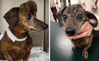 Cane con un grande tumore sulla testa ottiene un nuovo cranio stampato in 3D