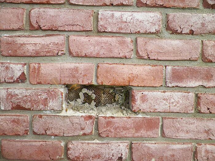Favo Enorme Dentro Muro Di Una Casa
