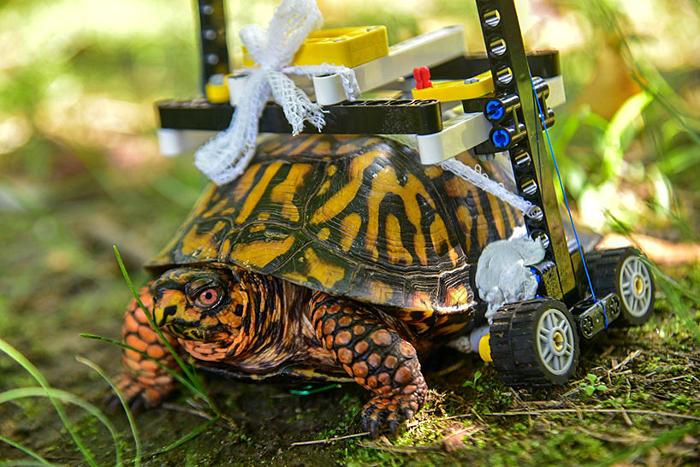 Costruiscono una sedia a rotelle personalizzata con i LEGO per una tartaruga ferita allo zoo