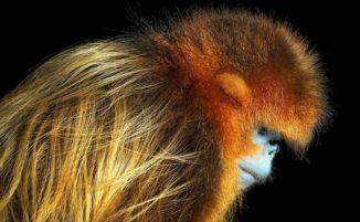Splendidi ritratti di animali quasi estinti, di Tim Flach