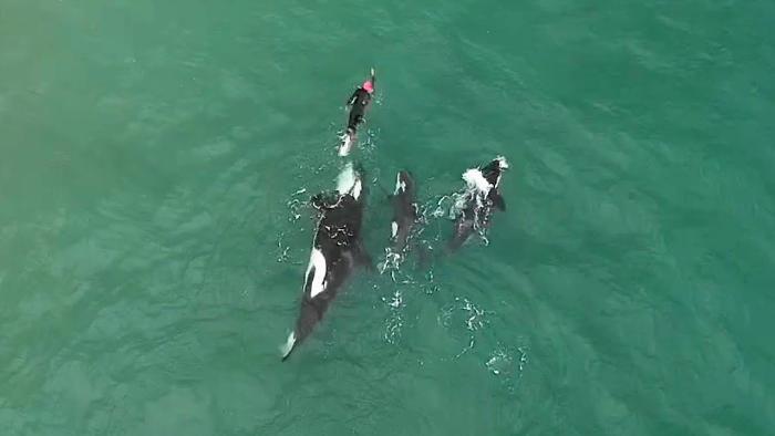 Drone filma per caso nuotatore circondato da orche assassine