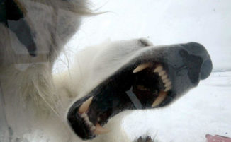 Orso polare affamato cerca di entrare nel box di un filmmaker della BBC