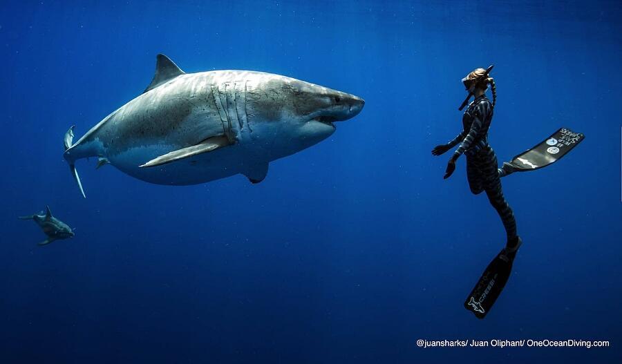 Ocean Ramsey Nuota Con Un Enorme Squalo Bianco
