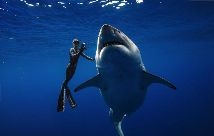 Ocean Ramsey nuota a fianco di uno dei più grandi squali bianchi del mondo