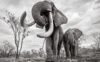 """Le ultime foto della leggendaria """"Elephant Queen"""" prima della sua morte"""