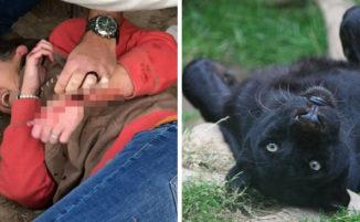 Giaguaro ha attaccato una donna allo zoo che voleva farsi un selfie con lui ma non verrà abbattuto