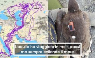 Uomo trova un'aquila morta dotata di GPS e ricostruisce i suoi incredibili 20 anni di viaggi