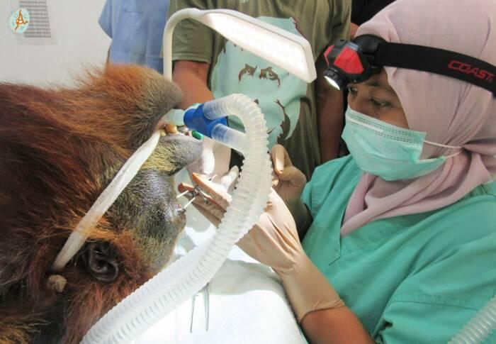 Orango Hope gravemente ferita dall'industria dell'olio di palma
