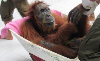 Per l'olio di palma un Orango è stato trovato con 74 proiettili in corpo, cieco e il suo piccolo in fin di vita