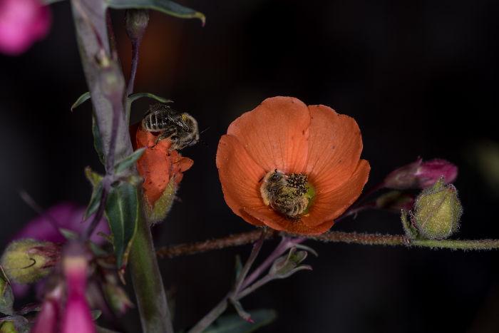 Le api che dormono nei fiori