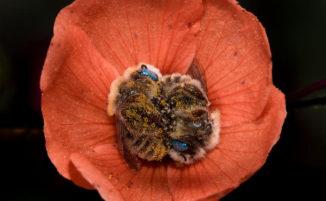 Le api che dormono nei fiori, una specie assolutamente irresistibile