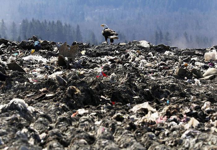 A Seattle, le aquile portano spazzatura da una discarica alle case dei residenti