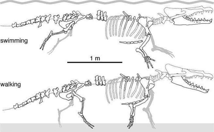 Una balena a 4 zampe vissuta 40 milioni di anni fa, Peregocetus Pacificus