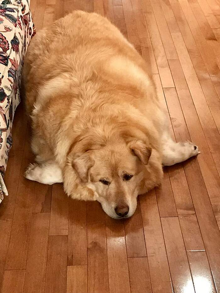 Cane obeso stava per essere soppresso ma un gesto d'amore l'ha salvato
