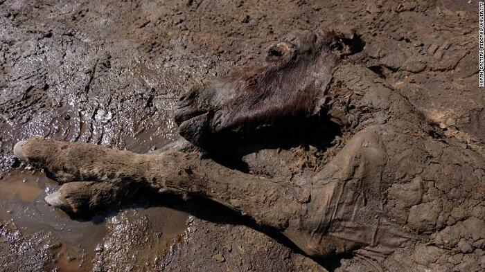 Fossile Cavallo Pleistocene Siberia