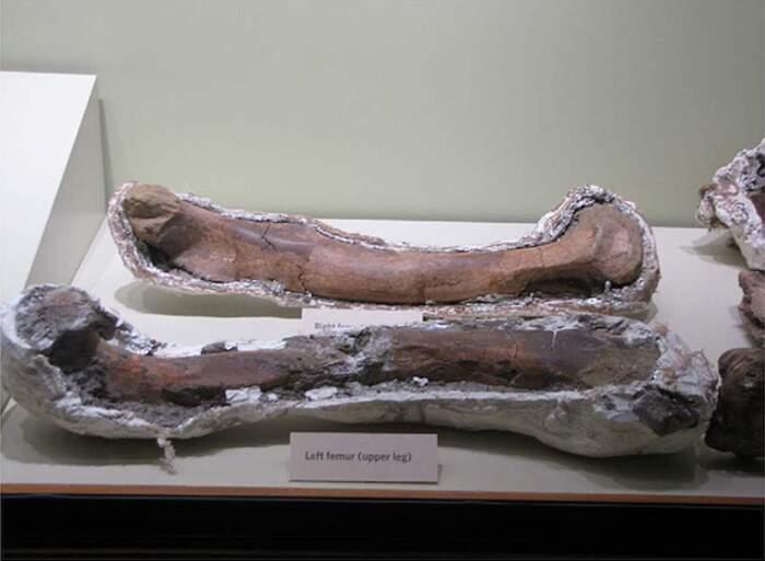 Cacciatore di fossili vende resti di un cucciolo di T-Rex su Ebay