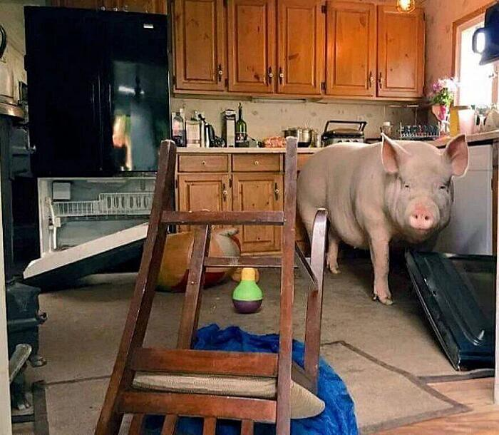 Maiale Domestico Esther The Wonder Pig