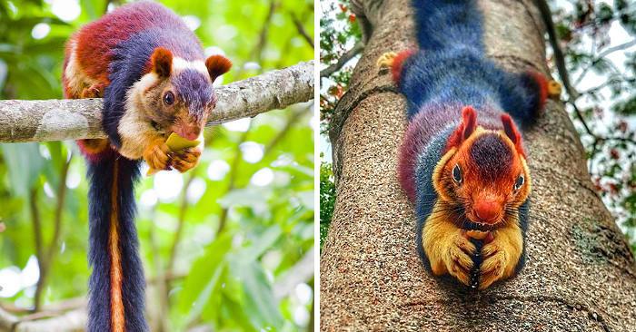 In India vivono bellissimi scoiattoli giganti multicolore che non tutti conoscono