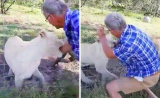 Un uomo prova ad accarezzare un leone e finisce con una grave ferita