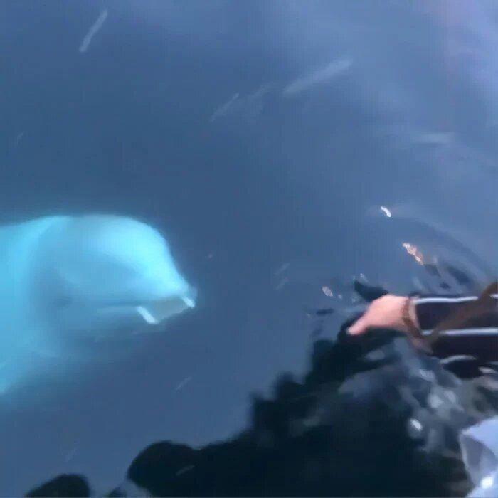 Delfino bianco restituisce un cellulare caduto in mare