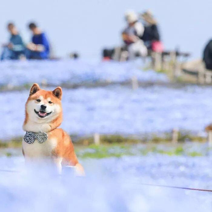 Foto Shiba Inu Hitachi Seaside Park Masayo Ishizuki