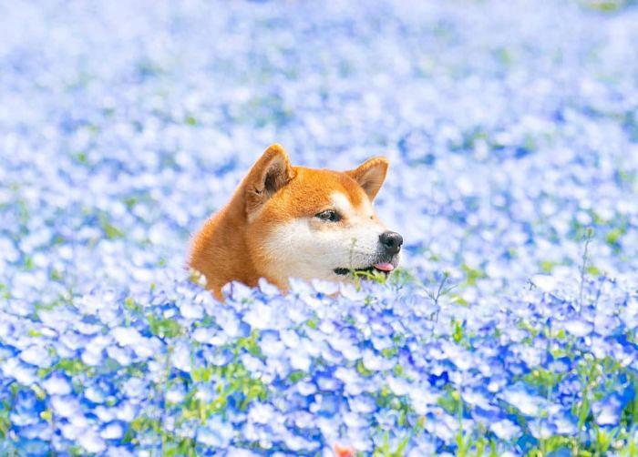 Fotografa il suo Shiba Inu tra i fiori dell'Hitachi Seaside Park ed Internet impazzisce