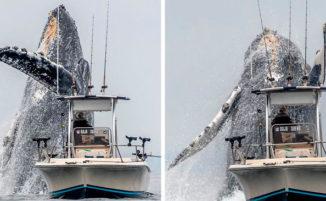 Video virale mostra una enorme megattera che salta ad un soffio da una barca