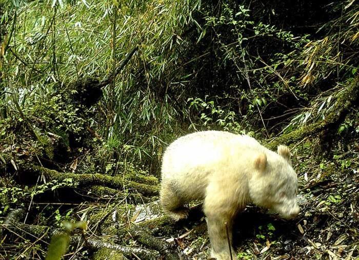 Raro panda albino avvistato per la prima volta in Cina, ed è tutto bianco