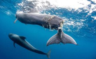 Cucciolo di balena ha la coda mozzata dal motore di una nave e deve essere soppresso