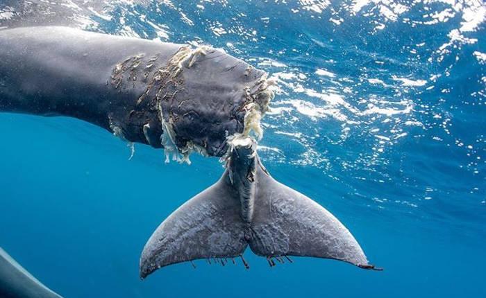 Cucciolo di balena ha la coda mozzata dal motore di una nave