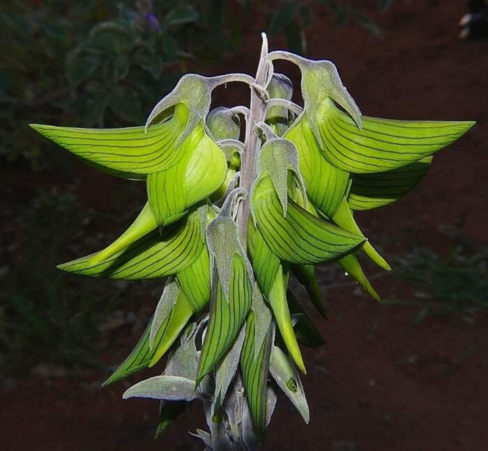 Fiori a forma di colibrì, Crotalaria Cunninghamii