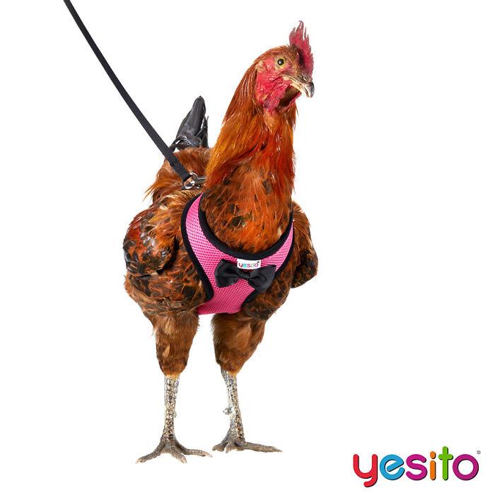 Amazon vende guinzagli per galline, per aiutare il tuo pollo ad  attraversare la strada